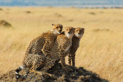 Cheetahs in Masai Mara National Reserve, Kenya royalty free stock photo
