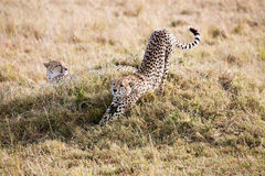 Cheetahs Masai Mara Reserve Kenya Africa Royalty Free Stock Images