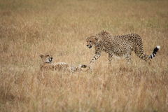 Cheetahs in the Masai Mara Royalty Free Stock Images