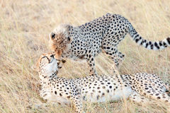 Cheetahs in Masai Mara Royalty Free Stock Photo