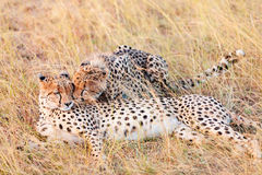 Cheetahs in Masai Mara Stock Image