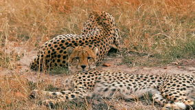 Cheetahs in Masai Mara stock video footage
