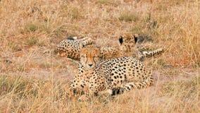 Cheetahs in Masai Mara. Two cheetahs lying in grass having a rest after eating in Masai Mara, Kenya stock video footage