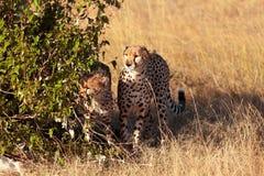 Cheetahs in Masai Mara Stock Image