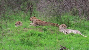 Cheetahs with mother. Two young cheetahs with their mother in Tarangire National Park, Tanzania Africa stock video