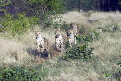 Cheetahs in Namibia Royalty Free Stock Photos