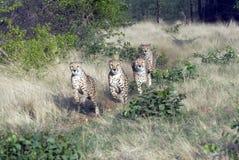Cheetahs in Namibia. Four hungry Cheetahs running,Namibia Royalty Free Stock Photos