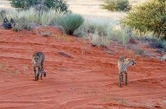 Cheetahs, Namibia. Cheetah walking on the savannah at the sunset Royalty Free Stock Photo