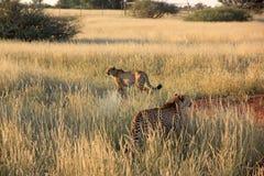 Cheetahs, Namibia Stock Photo