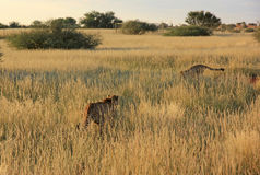 Cheetahs, Namibia. Couple of cheetahs playing in the savannah, Namibia Stock Image