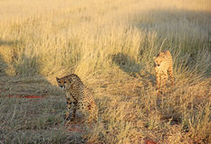 Cheetahs, Namibia. Couple of cheetahs relaxing in the savannah, Namibia Royalty Free Stock Photo