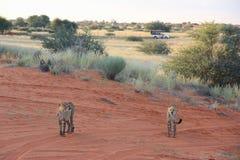 Cheetahs, Namibia. Couple of cheetahs during the safary in the savannah, Namibia Stock Images