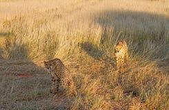 Cheetahs, Namibia. Couple of cheetahs in the savannah, Namibia Royalty Free Stock Photography