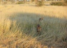 Cheetahs, Namibia Stock Photos