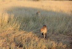 Cheetahs, Namibia Royalty Free Stock Photos