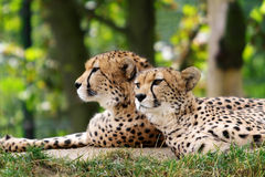 Cheetahs. In the nature as background Stock Image