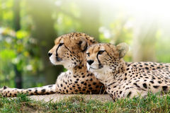 Cheetahs. In nature, detail as background Royalty Free Stock Image