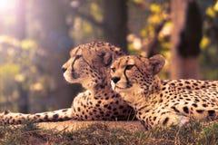 Cheetahs Stock Photography
