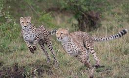 Free Cheetahs On The Run Royalty Free Stock Image - 119807616