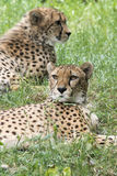 Cheetahs. A pair of cheetahs resting in the grass Royalty Free Stock Photography