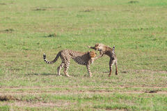 Cheetahs play in the Masai Mara Stock Images