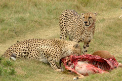Cheetahs with prey. Two South African Cheetahs with caught prey Royalty Free Stock Photo