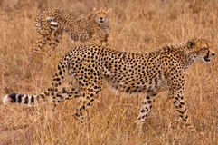 Cheetahs on the Prowl Royalty Free Stock Photos