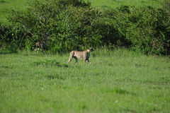 Cheetahs on the prowl stock photography