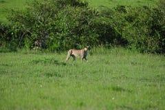 Cheetahs on the prowl. Two cheetahs to stalk their prey Stock Photography