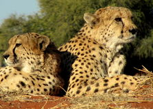 Southern african animals. Cheetahs relaxing in the sun Stock Photo