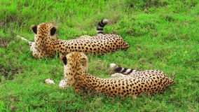 Cheetahs resting on grass. Two young brother cheetahs resting on the grass in Tarangire National Park, Tanzania Africa. backside angle view. Binomial name stock video footage