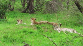 Cheetahs resting on grass. Two young cheetahs with their mother resting on grass in Tarangire National Park, Tanzania Africa stock footage