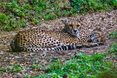 Cheetahs resting in the shade Royalty Free Stock Photo