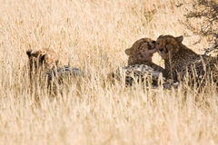Cheetahs resting in the shadows after eating Stock Images
