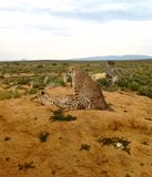 Cheetahs in savannah. Cheetah family resting on naked ground in savannah in siesta. One is sitting and looking away against cloudy sky royalty free stock images