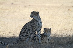 Cheetahs. In the shade of a tree looking at distant prey in the Kruger National Park Royalty Free Stock Photos