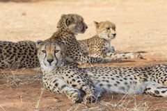 Cheetahs, South Africa. Cheetah group, (Acinonyx jubatus), South Africa Stock Photo