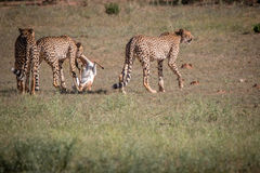 Cheetahs with a Springbok kill in Kgalagadi. Royalty Free Stock Images