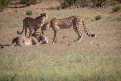 Cheetahs with a Springbok kill in Kgalagadi. Royalty Free Stock Image
