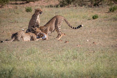 Cheetahs with a Springbok kill in Kgalagadi. Stock Photos