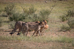 Cheetahs with a Springbok kill in Kgalagadi. Stock Image