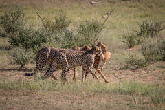 Cheetahs with a Springbok kill in Kgalagadi. Royalty Free Stock Photography
