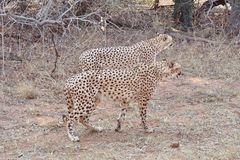 Cheetahs standing up stock image