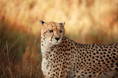Cheetahs Stare. Female cheetah staring at her prey. Photograph taken at Phinda game reserve on July 27th 2008 Royalty Free Stock Image