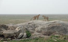 Cheetahs on a stone. Savannah scenery with some Cheetahs in Tanzania (Africa Stock Photos