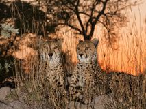 Cheetahs at Sunrise Stock Photography