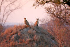 Cheetahs at sunrise. Two african cheetahs on a anthill bathed in sunshine Stock Photography