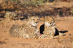 Cheetahs with tracking collars. Two cheetahs with tracking collars in Okonjima Game Reserve in Namibia Africa Stock Images