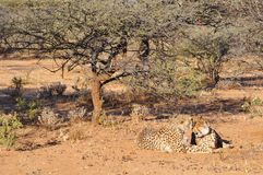 Cheetahs with tracking collars Royalty Free Stock Photography