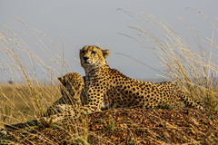 Cheetahs. Two cheetahs brother standing guard on the hill Royalty Free Stock Images